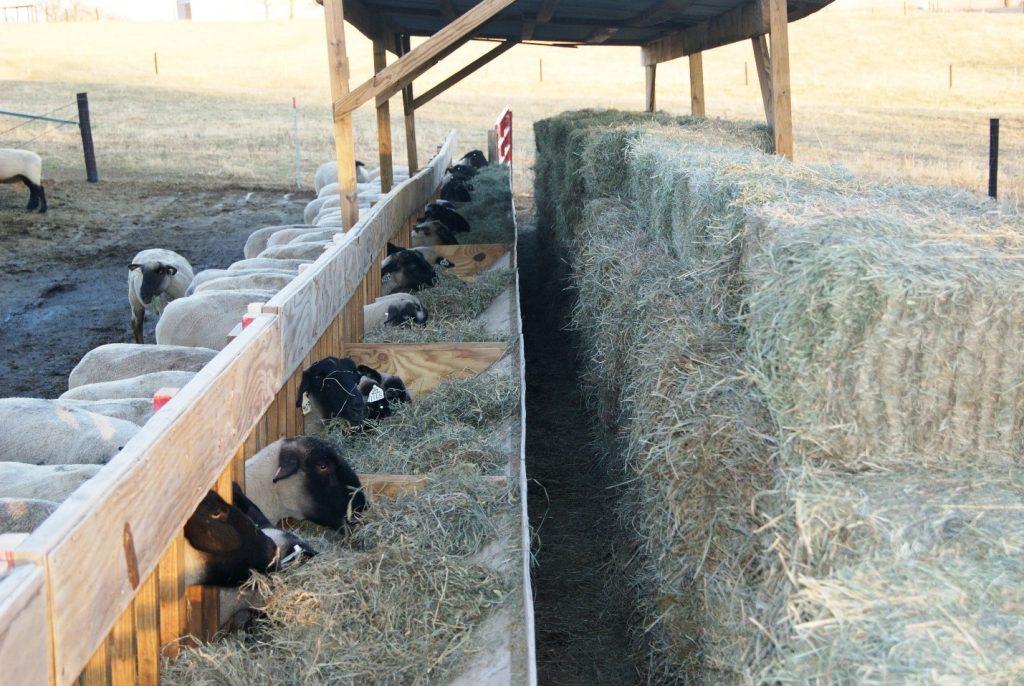 آغل-تمیز-گوسفند
