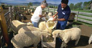 تغذیه گوسفند پرواری