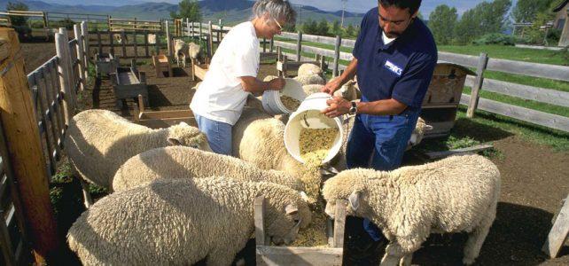 تغذیه گوسفند پرواری باید به چه شکل باشد