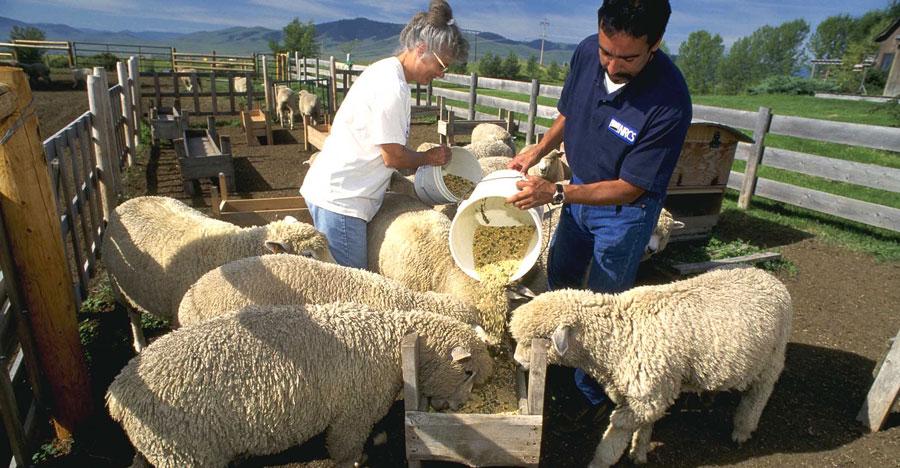 تغذیه-گوسفند