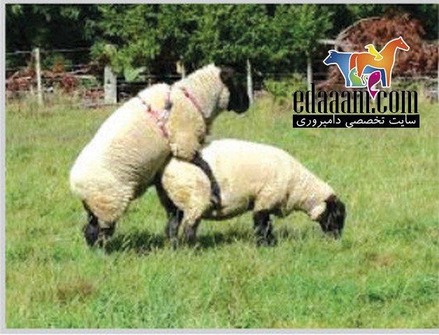 جفتگیری-گوسفند