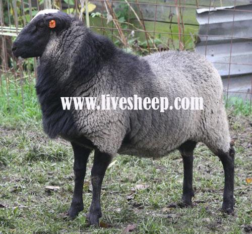 گوسفند-رومانف