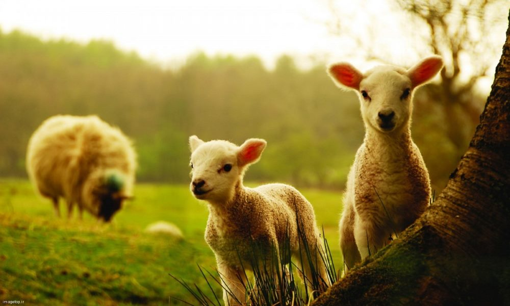 بلاگ علمی پرورش گوسفند