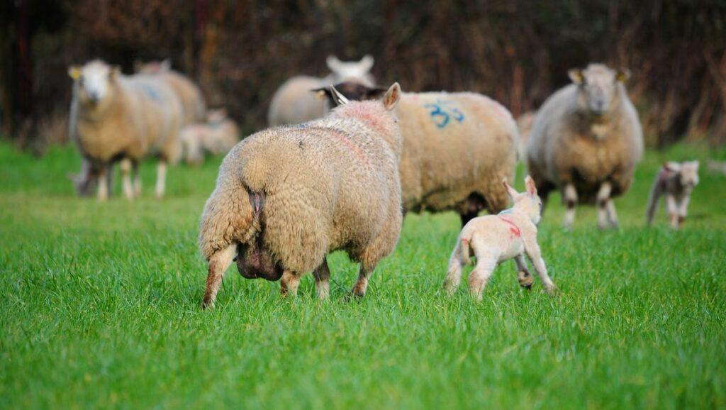 تغذیه گوسفند پرواری باید به چه شکل باشد؟