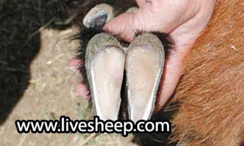 نحوه چیدن یا اصلاح سم گوسفند زنده