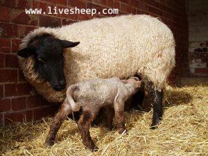 تولید مثل گوسفند زنده
