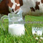 تفاوت بین شیر گاو و شیر گوسفند