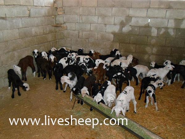 انواع روشهاي پرواربندي گوسفندان