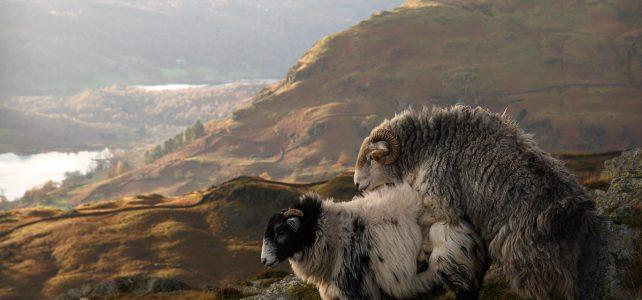 روش های بالا بردن درآمد پرورش دهندگان گوسفند