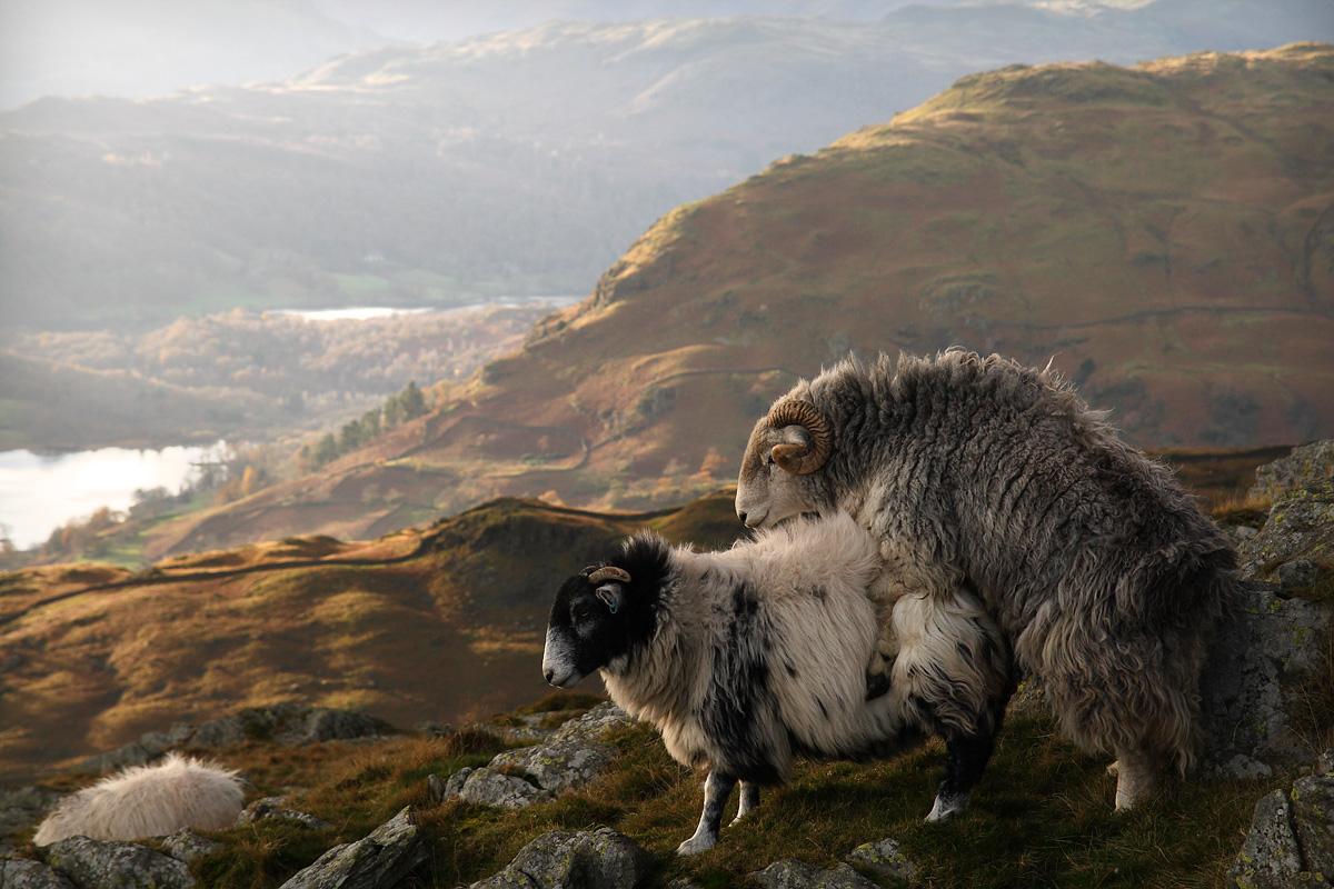 بالا بردن درآمد پرورش دهندگان گوسفند