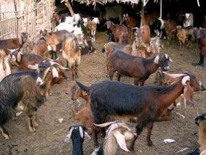 آغل گوسفندان