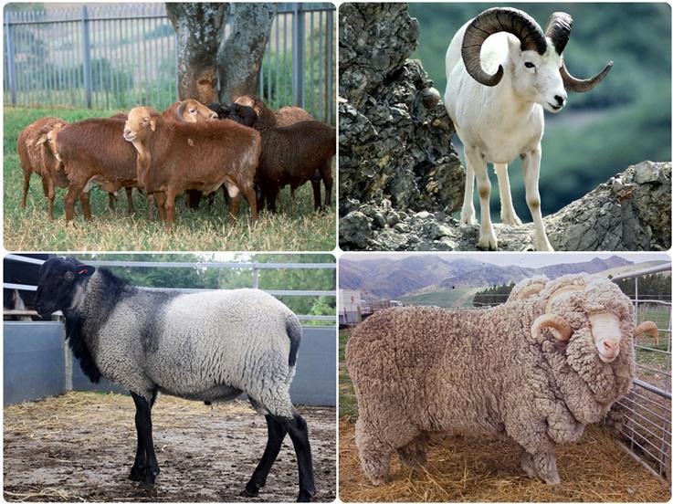 تاریخ ژنتیکی گوسفند