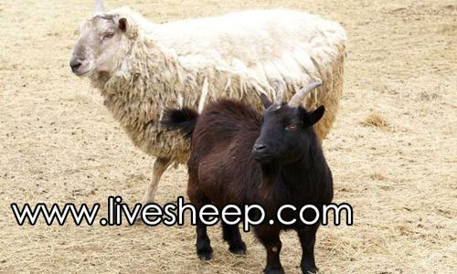 تفاوت گوسفند و بز