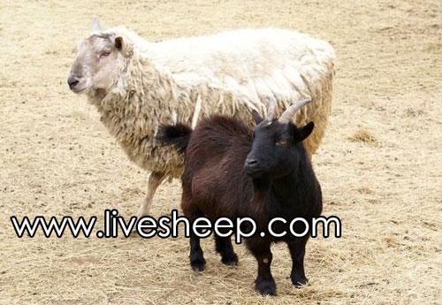 تفاوت بین بز و گوسفند