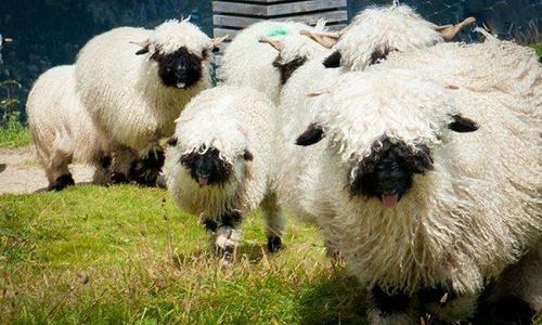 روشهای پرورش گوسفند