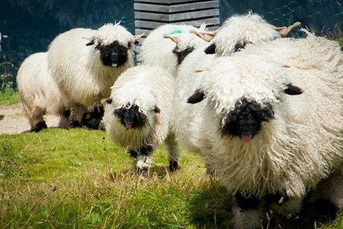 پرورش گوسفندان