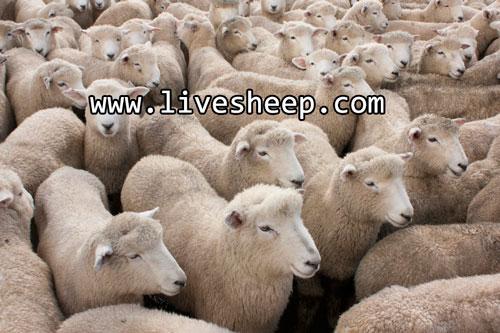 سیزده روش برای کاهش هزینه های پرواربندی و پرورش گوسفند زنده