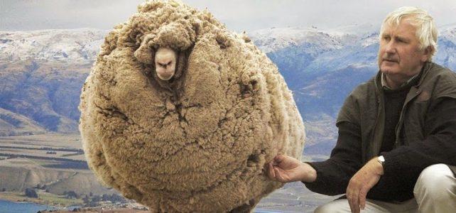 گوسفندی که بعد از ۶ سال به سلمانی رفت