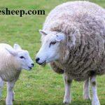خرید گوسفند زنده در تهران