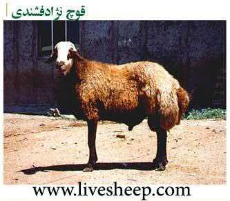 نتیجه تصویری برای نژاد گوسفندی مناسب برای قالی بافی