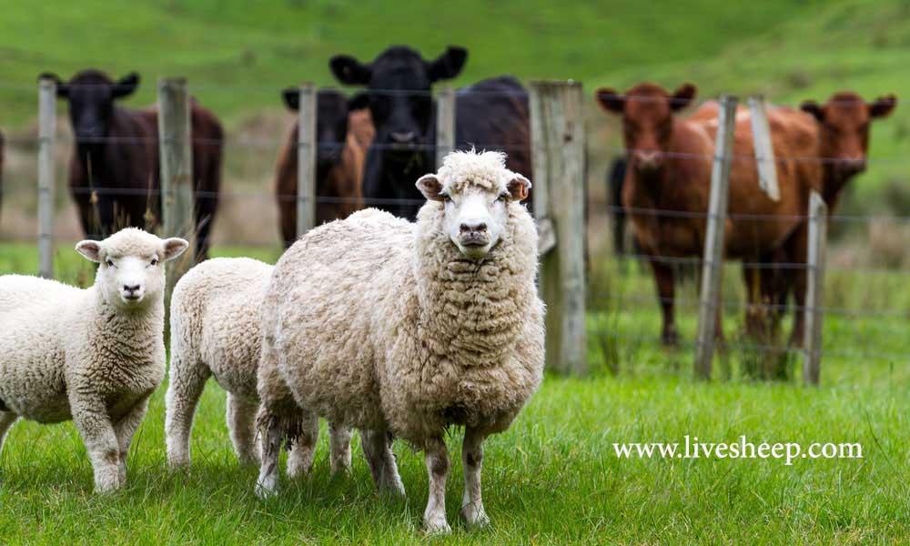 'گوسفند زنده