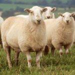 قیمت گوسفند زنده
