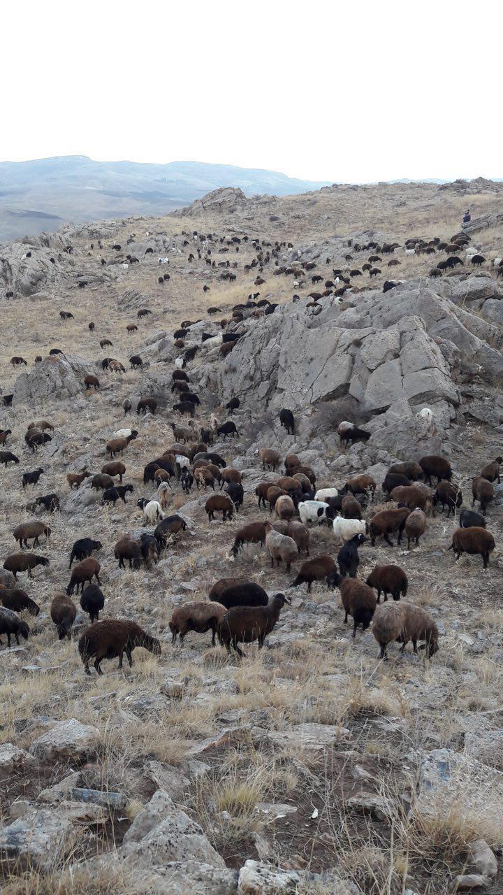 گوسفنده زنده