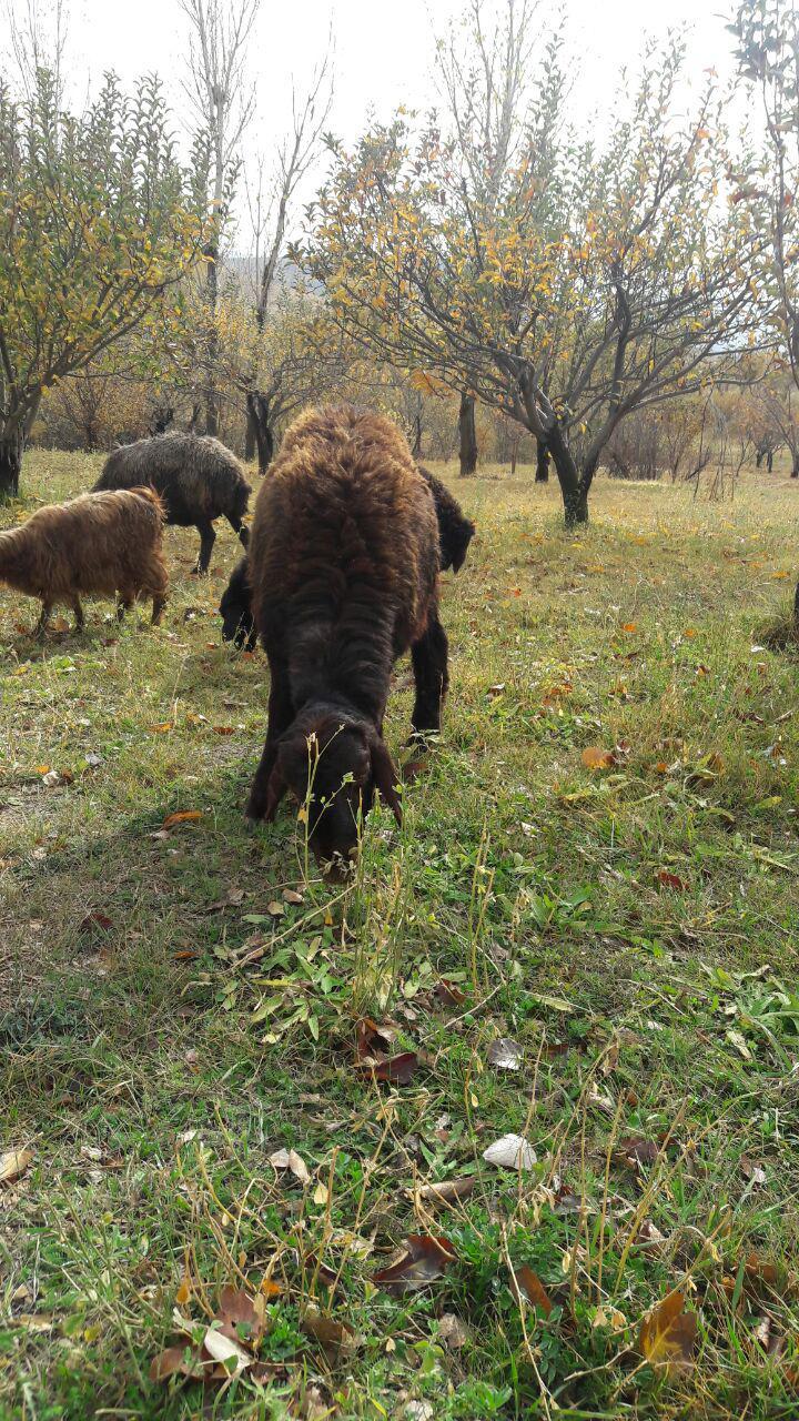 گوسفند زنده تهران