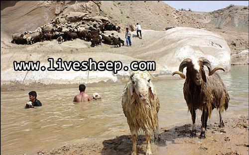 گوسفندان نژاد قشقایی