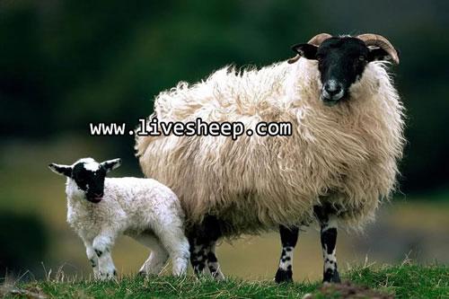 تفاوت بین گوسفند و بره