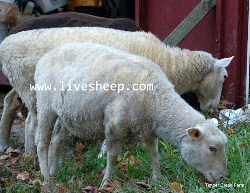 نحوه چیدن پشم انواع گوسفند زنده