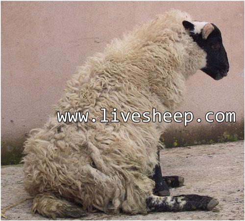 مسمومیت آبستنی در گوسفند زنده و بز و راههای پیشگیری