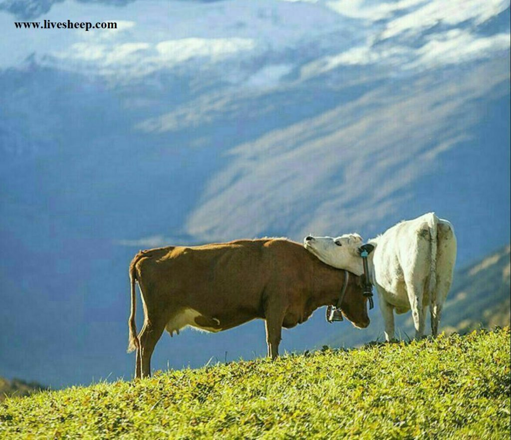 قیمت گاو گوساله زنده