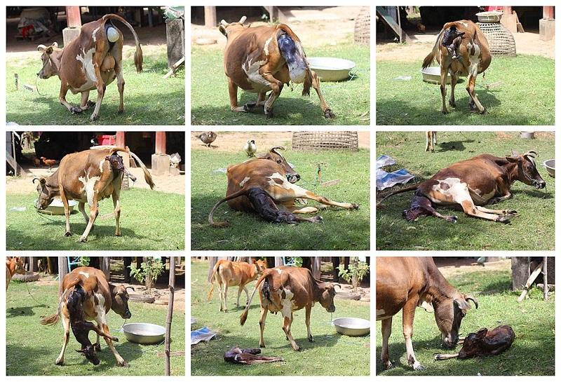 مراحل زایمان طبیعی یک گاو ماده و تولد گوسالهاش