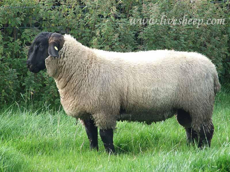گوسفند نژاد سافولک