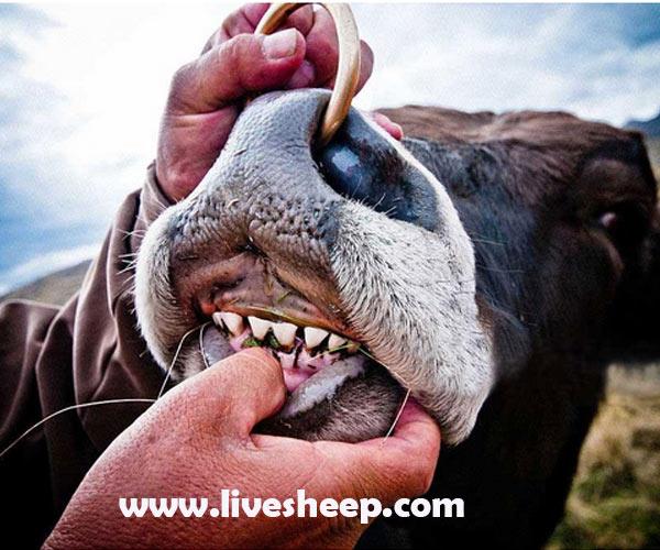نحوه تشخیص سن گاو از روی دندان و شاخ آن
