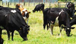 وجود گاز آمونیاک در محل پرورش گوساله ها