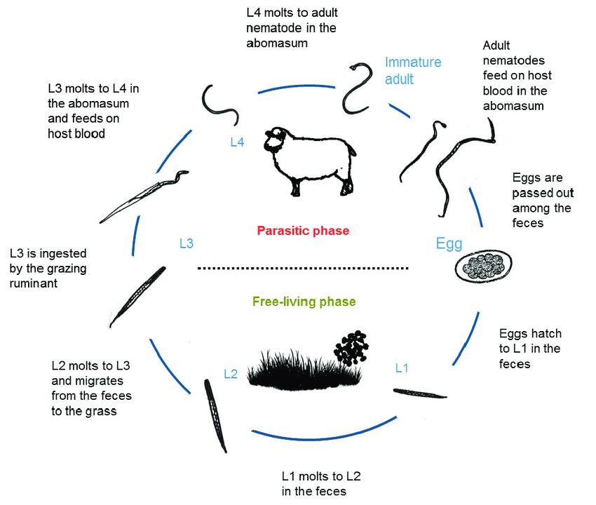 انگل گوارشی نماتودیروس در گوسفندان