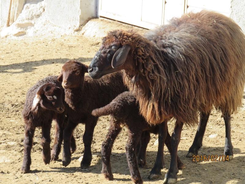 بهترین نژاد گوسفندان چند قلوزا