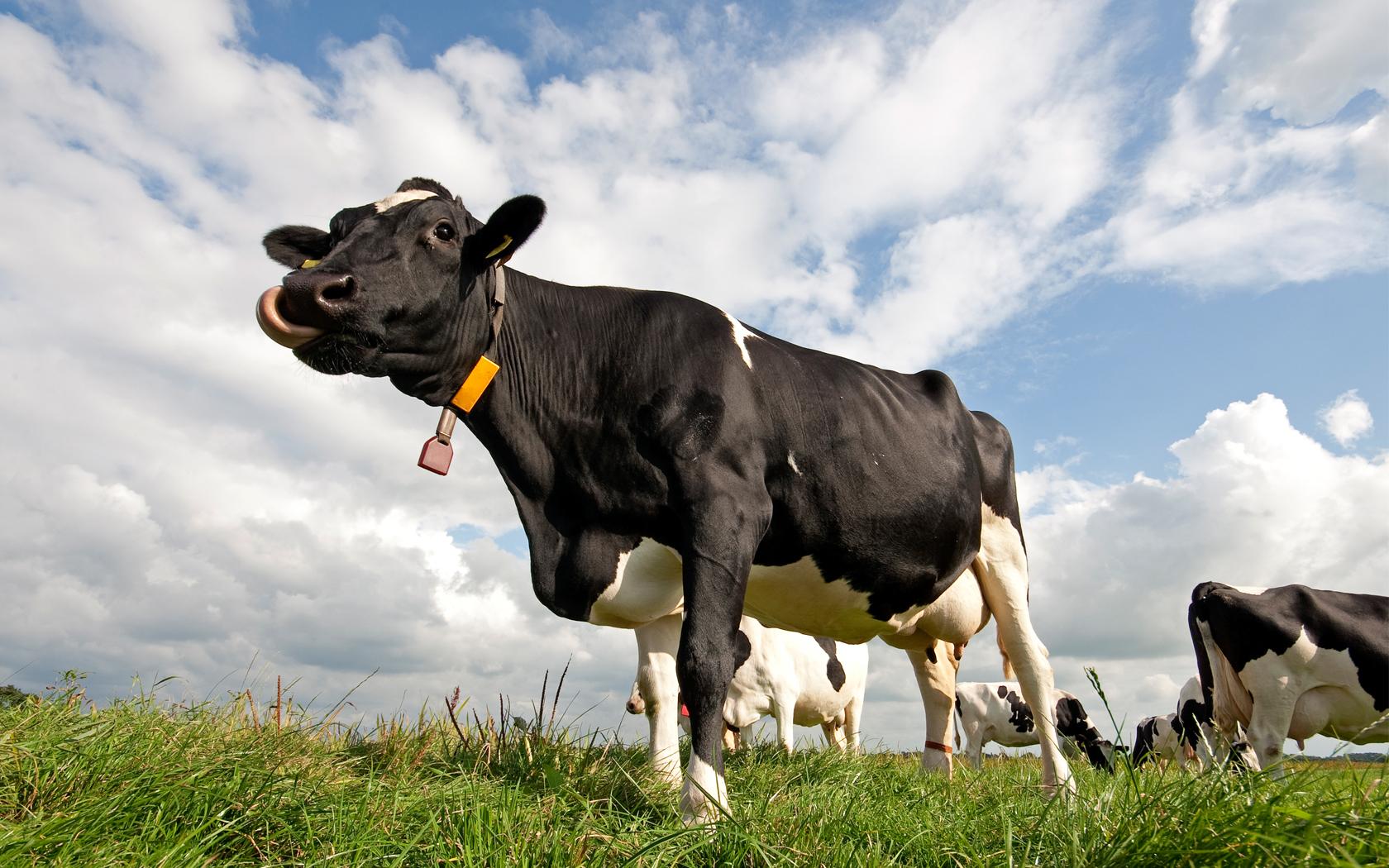 تشخیص فحلی گاو