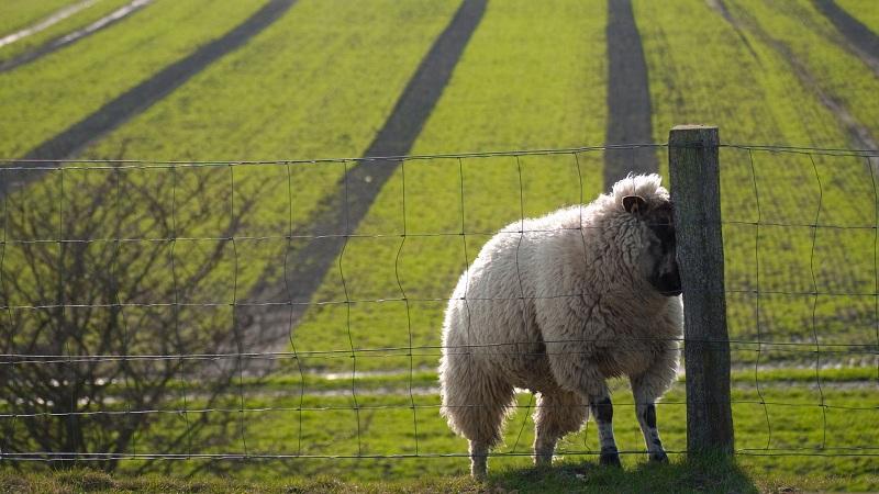 درمان بیماری سنوروس سربرالیس گوسفندان