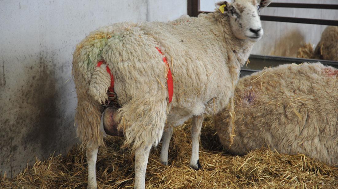 سقط جنین گوسفند
