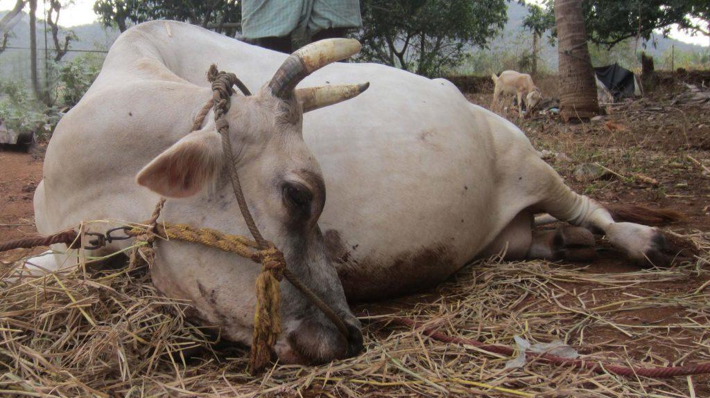 فلج شدن گاو پس از زایمان و درمان تب شیر