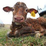 درمان پنومونی و سرفه گوساله ها