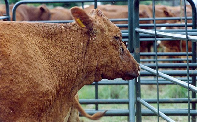 بیماری پوستی لمپی اسکین در گاو
