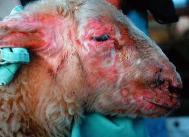 درمان بیماری آبله گوسفندان