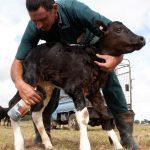 درمان عفونت بند ناف گوساله