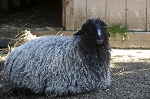 معرفی گوسفند نژاد قره قل