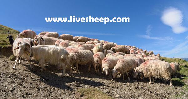 نژادهای گوسفندان شیری