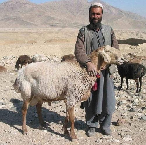 انواع نژاد گوسفندان در افغانستان